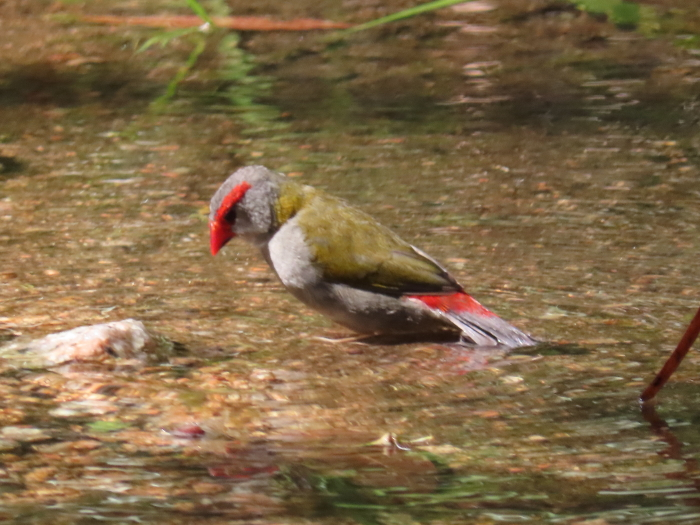 Red-browed Finch fishing