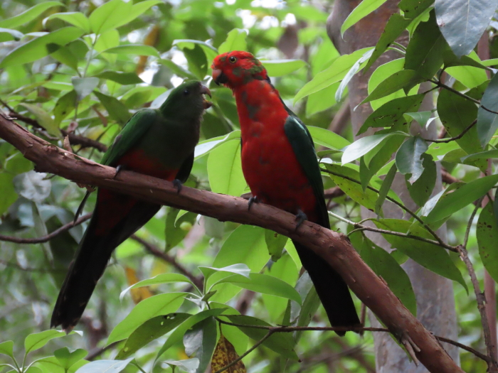 young King Parrot male feeding chick