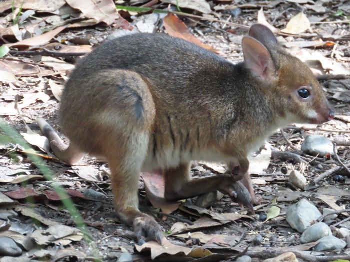 baby Red-legged Pademelon