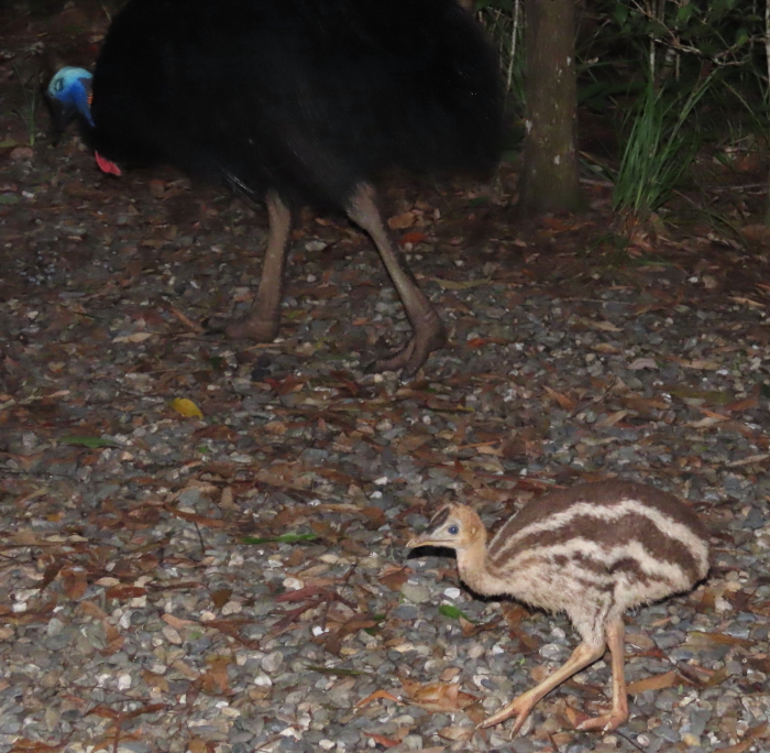 male cassowary & chick