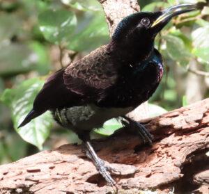 male Victoria's Riflebird