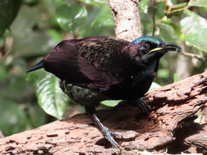sunlit male Victoria's Riflebird