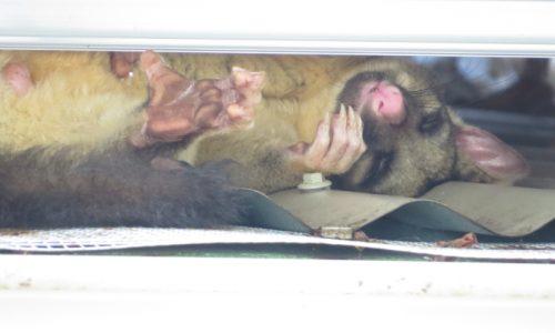 Brushtail Possum slleping on hot roof