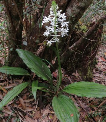 Christmas Orchid, Calanthe australasica